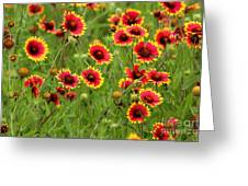 a field of Indian Blankets Greeting Card