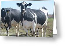 A Full Grown Holstein Cow Greeting Card