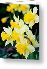 A Gathering Of Daffodils Greeting Card