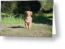 A Golden Retriever Running Greeting Card
