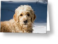 A Goldendoodle Lying In The Snow Bathed Greeting Card