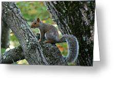 A Gray Squirrel Pose  Greeting Card