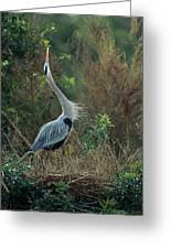 A Great Blue Heron Exhibits Greeting Greeting Card