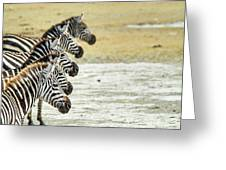 A Grevys Zebra In Ngorongoro Crater Greeting Card