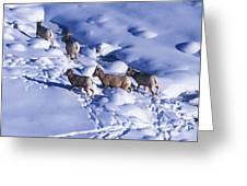 A Group Of Bighorn Sheep Ovis Greeting Card
