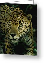 A Jaguar On The Prowl Greeting Card by Steve Winter