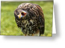 A Juvenille Peregrine Falcon Greeting Card