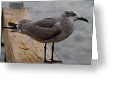 A Laughing Gull Greeting Card