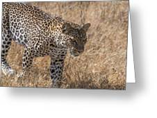 A Leopard, Panthera Pardus Greeting Card