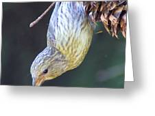 A Little Bird Eating Pine Cone Seeds  Greeting Card