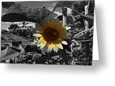 A Lone Sunflower In The Shade Greeting Card