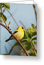 A Male American Goldfinch  Carduelis Greeting Card