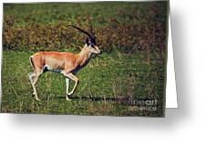 A Male Impala In Ngorongoro Crater. Tanzania Greeting Card