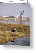 A Moose Walks On The On Reclaimed Land Greeting Card
