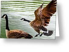 A Pair Of Canada Geese Landing On Rockland Lake Greeting Card