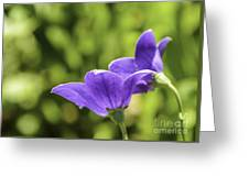A Pair Of Purple Balloon Flowers Greeting Card