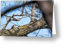 A Pair Of Red-bellied Woodpeckers Greeting Card