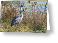 A Pair Of Sandhill Cranes Greeting Card