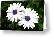 A Pair Of White African Daisies Greeting Card