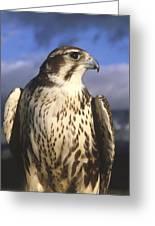 A Prairie Falcon At Dusk Greeting Card