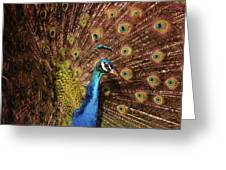 A Preening Peacock  Greeting Card