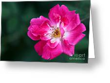 A Pretty Pink Rose Greeting Card