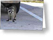 A Raccoon In Florida Greeting Card