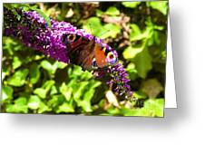 A Red Admiral On A Purple Budlier Greeting Card