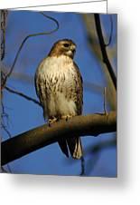 A Red Tail Hawk Greeting Card
