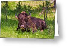 A Resting Bison Greeting Card