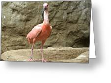 A Scarlet Ibis Stands Perched On A Rock Greeting Card