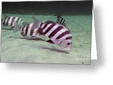 A School Of Sheepshead Feeding Greeting Card by Michael Wood