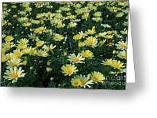 A Sea Of Yellow Daisys Greeting Card