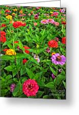 A Sea Of Zinnias 04 Greeting Card