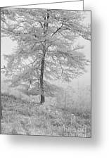 A Single Infrared Beech Tree Greeting Card