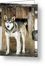 A Sled Dog Stands By Its Kennel Greeting Card