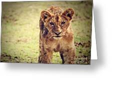 A Small Lion Cub Portrait. Tanzania Greeting Card