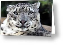 A Snow Leopards Gaze Greeting Card