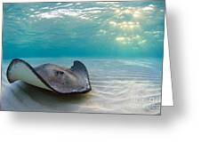 A Southern Stingray Greeting Card