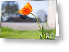 A Spring Tulip Greeting Card