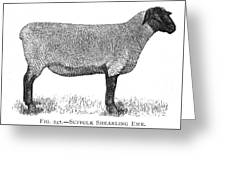 A Suffolk Shearling Ewe          Date Greeting Card