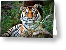 A Tigers Glance Greeting Card