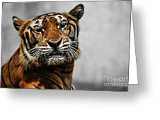 A Tiger's Look Greeting Card