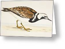 A Turnstone. Arenaria Interpres. From A Greeting Card