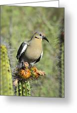 A White Winged Dove  Greeting Card