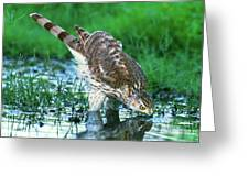 A Wild Juvenile Cooper's Hawk Drinks From A Pond Greeting Card