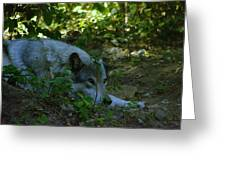 A Wolf Naps Greeting Card
