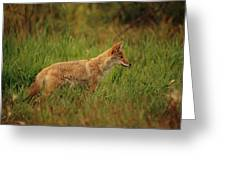 A Young Coyote Greeting Card