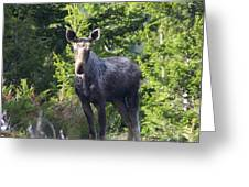 A Young Moose  Greeting Card