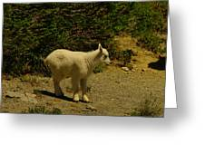 A Young Mountain Goat Greeting Card